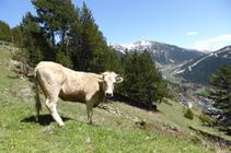 Troupeau de vaches paissant.