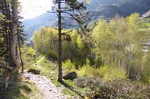 Forêts de bouleaux.