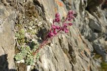 Le saxifrage moyen, typique des roches calcaires des Pyrénées.