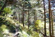 Le pin sylvestre est l´espèce qui prédomine dans la forêt ou nous avançons.