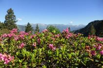 Rhododendrons sur la plaine de Prat Primer.
