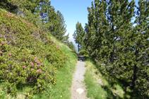 Forêt de pins noirs et de rhododendrons sur l´ubac.