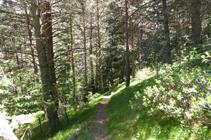 La pinède sombre de la forêt de la Caülla.