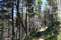 Forêt de pins noirs.