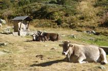 Vaches se reposant près de la source du Travenc.