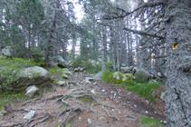 Les branches du pin noirs avec les petites cuscutes accrochées à celles-ci.