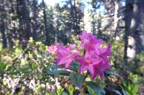 Les sublimes fleurs du rhododendron.