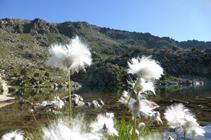 Cotonniers au lac d´Ensagents.