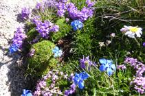 La flore de haute montagne sur le sommet de l´Alt del Griu.