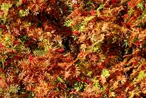 Feuilles de sorbiers des oiseleurs, en plein automne.